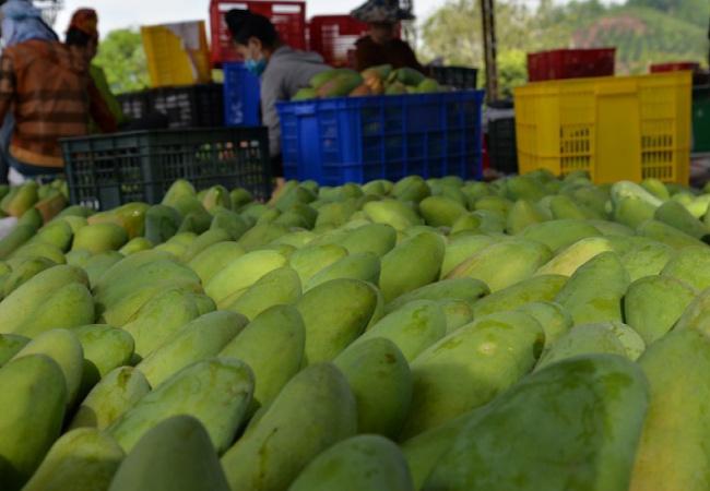 Sơn La xuất khẩu gần 5.000 tấn xoài sang Trung Quốc